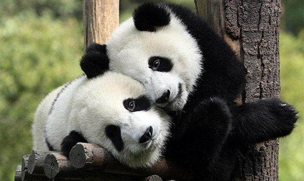 pandas snuggling